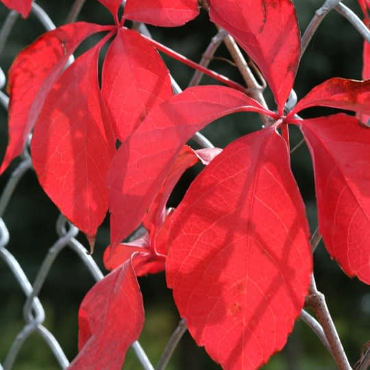 Red Wall vine