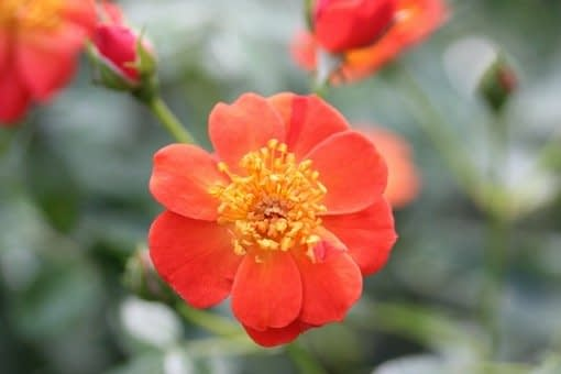 Oso Easy Hot Paprika Rose