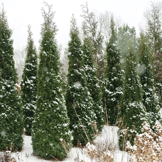 A group of North Pole arborvitae in a snowy landscape.