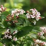 Sweet Emotion abelia has fragrant pink flowers and glossy green foliage.