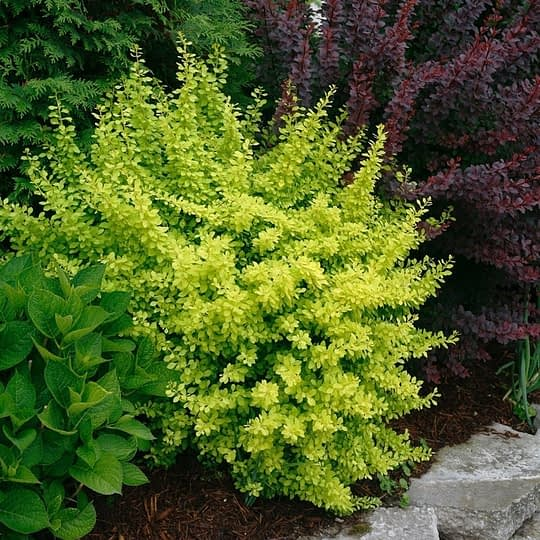 Sunjoy Citrus barberry growing between a hydrangea and a red barberry.