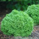 Tater Tot arborvitae grows as a round ball of fan like evergreen foliage.