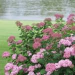 planting of pink hydrangeas along grass with river in background
