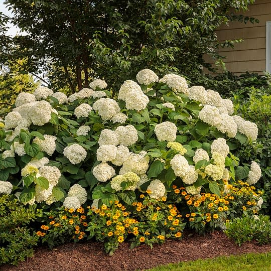 White hydrangea plant with yellow flowers planted around it