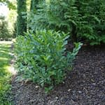 A line of Low Scape Hedge aronia planted in front of mature arborvitae.