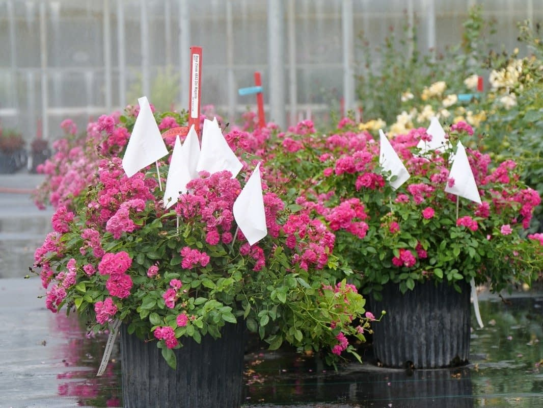 trialing roses in the greenhouse