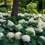 Tree trunk surrounded by white hydrangea blooms