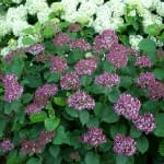 mounded pink hydrangea shrub with white hydrangea in background