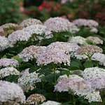 Close up of white and blush hydrangea blooms
