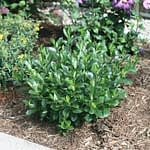 Low Scape Mound aronia has a dwarf habit and glossy green foliage.
