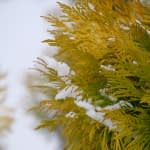 A closeup view of the glossy golden foliage of Fluffy arborvitae in winter.