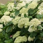 lime hydrangea flowers with pink pollen