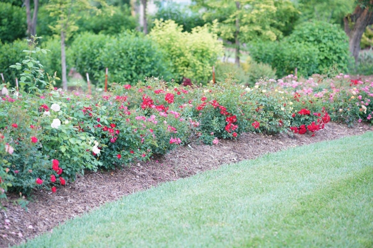Roses trialing in landscaping