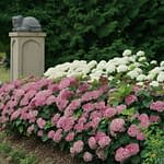 tiered hedge of white and pink hydrangeas with statuary