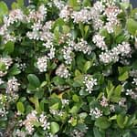 Low Scape Mound aronia has glossy green foliage and white flowers.