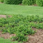A planting of Ground Hug aronia being used in a yard.