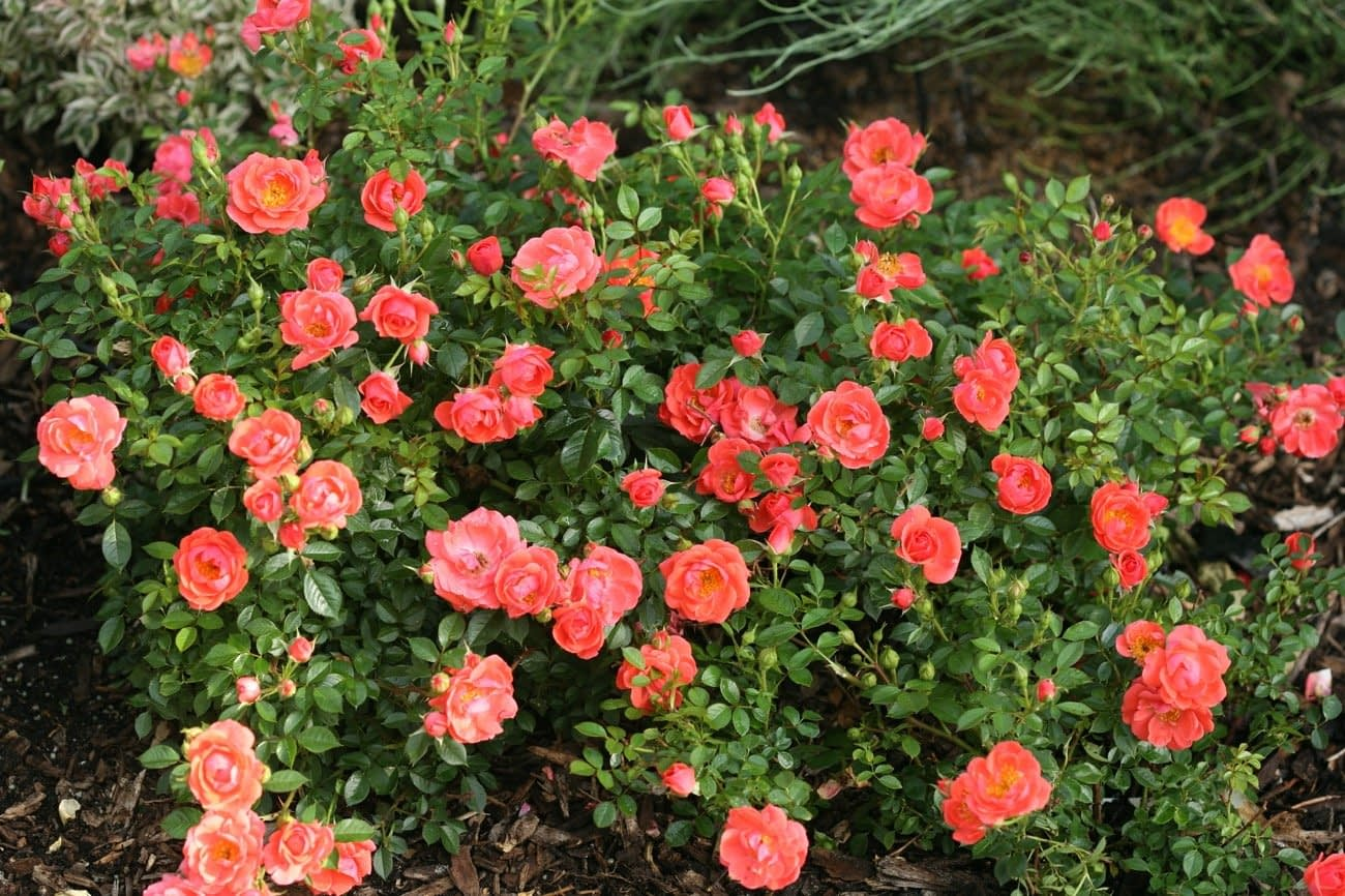 Oso Easy Mango Salsa rose covered in coral pink flowers.