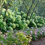 Aged-green hydrangea hedge planted with trees and purple butterfly bush
