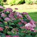 side view of pink hydrangea shrub and grass