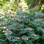 Dark green leaves accented by pink and white lacecap hydrangea blooms in garden