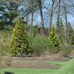 Two Polar Gold arborvitae in a garden in early spring.