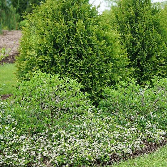 Ground Hug aronia in full bloom being used as a ground cover around hydrangeas and arborvitae.