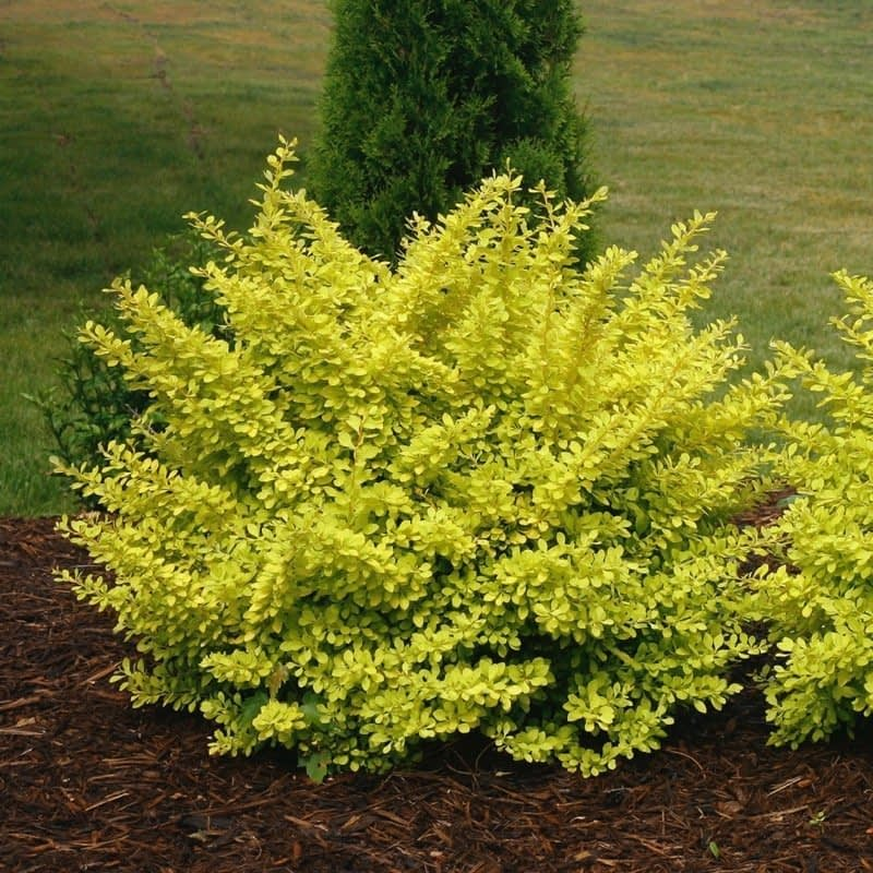Sunjoy Citrus barberry has a rounded habit and golden leaves.