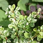 Sunjoy Sequins barberry has unique white and green variegated foliage.