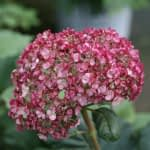 close up of single ruby-colored hydrangea bloom