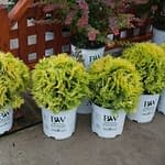 Four specimens of Anna's Magic Ball arborvitae in white Proven Winners containers.
