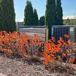 Low Scape Hedger aronia covering air conditions showing its red and orange fall color.