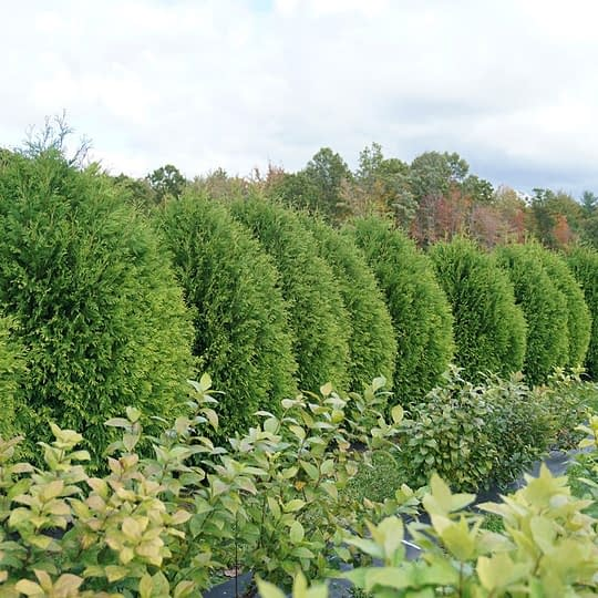 A hedge made of Cheer Drops arborvitae.