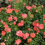 Oso Easy Mango Salsa rose is covered in double coral pink blooms.