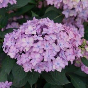 Let's Dance Can Do Hydrangea