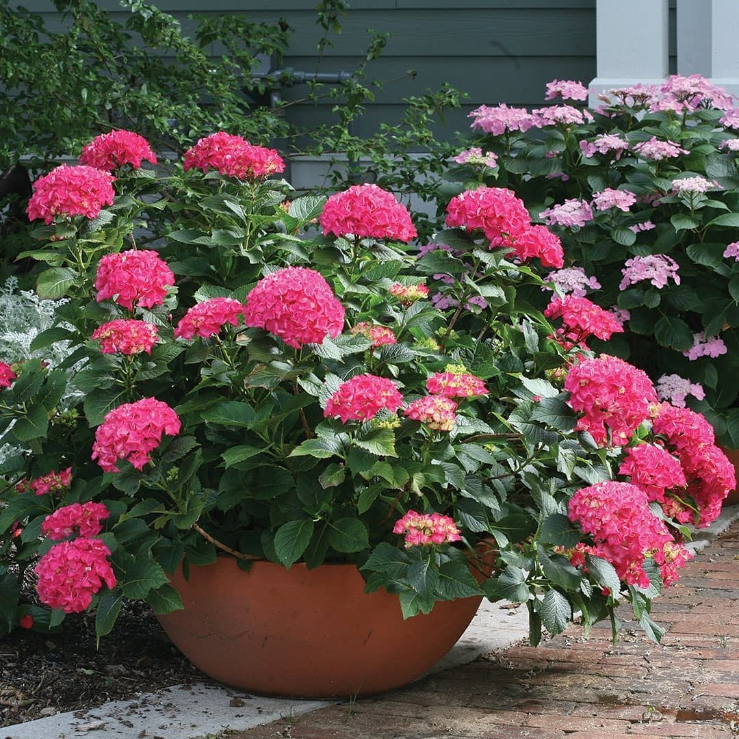 A specimen of Cityline Paris hydrangea growing in a large container near a brick walkway.