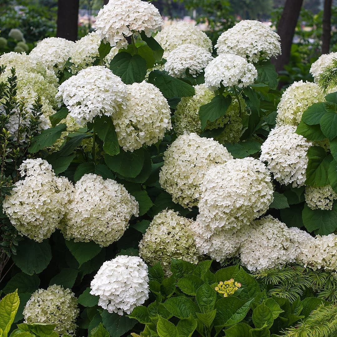 Close up of white and pale green hydrangea bloomse
