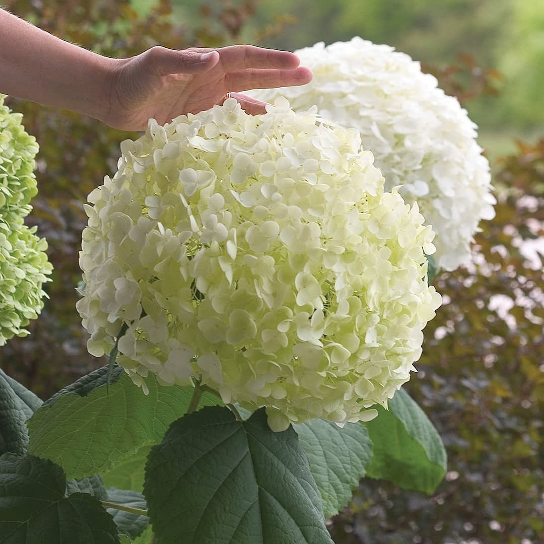 Large off white hydrangea bloom with hand reaching toward it