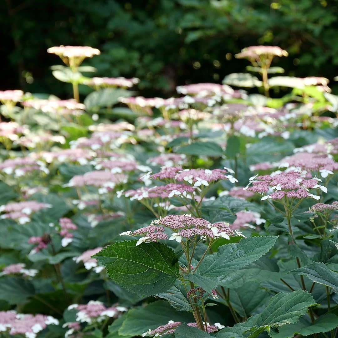 Airy pink lacecap hydrangea backlit by sun