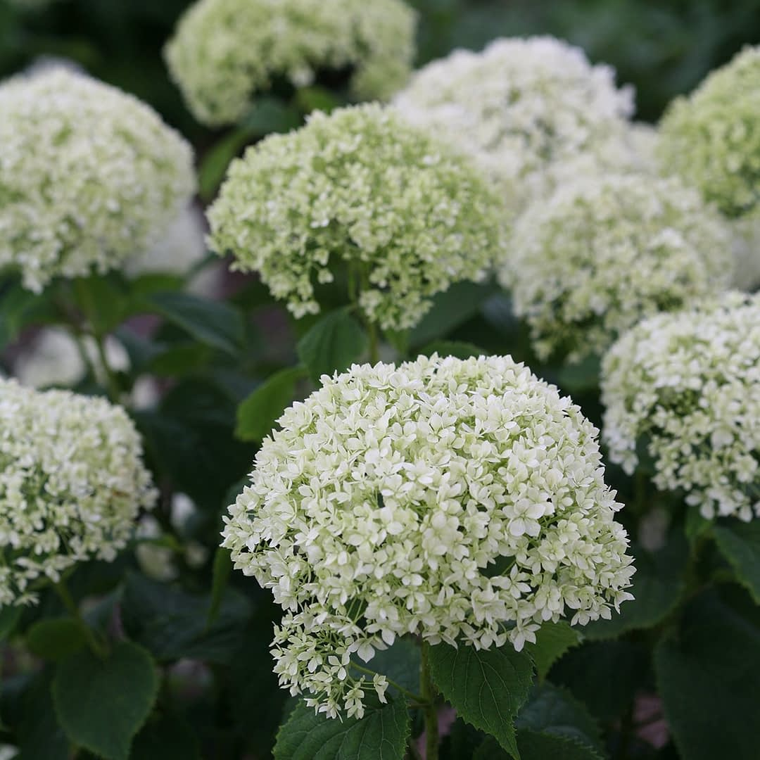 close up of white and lime hydrangea blooms
