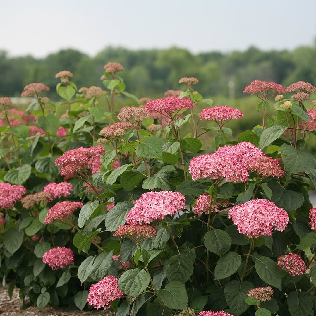 mounded pink hydrangea shrub planted in field