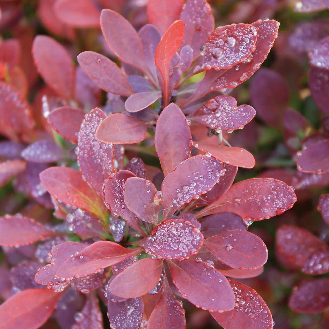 Dew drops on the red foliage of Sunjoy Mini Salsa barberry.