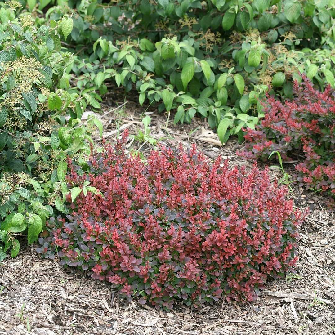 The bright red growth of Sunjoy Mini Salsa barberry.