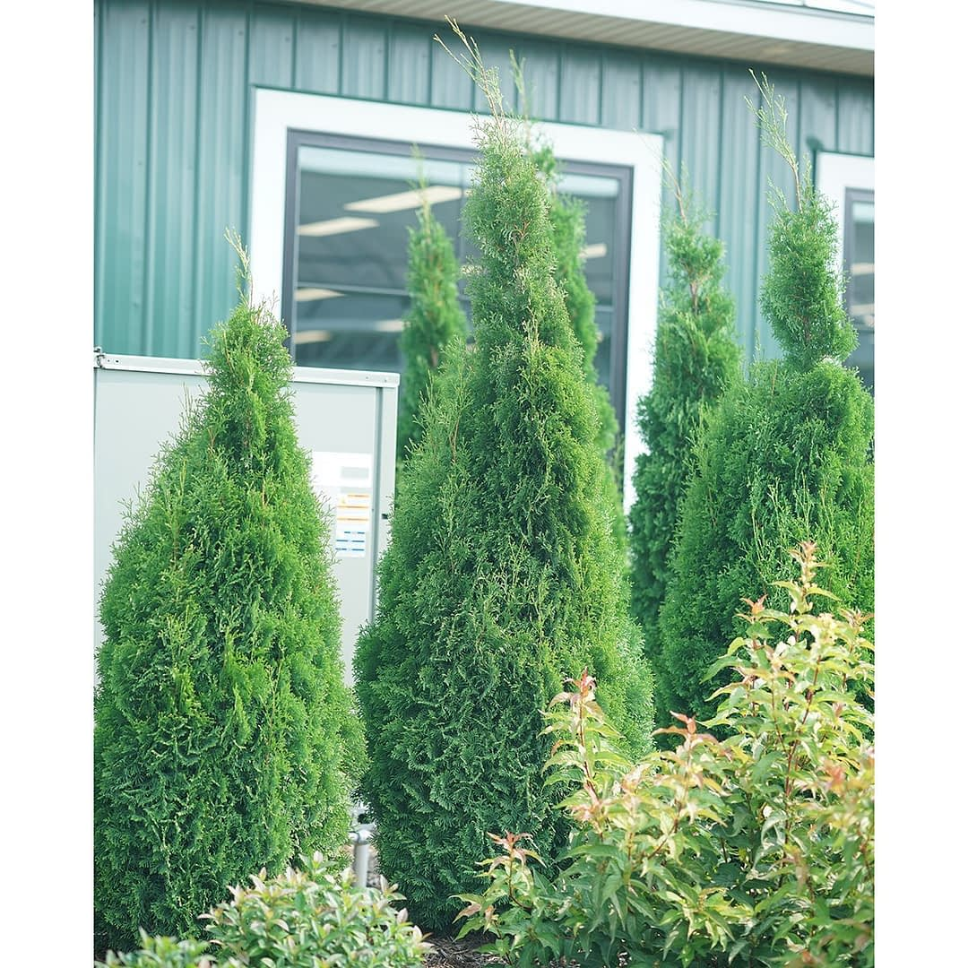 Three North Pole arborvitae being used to screen a large generator.