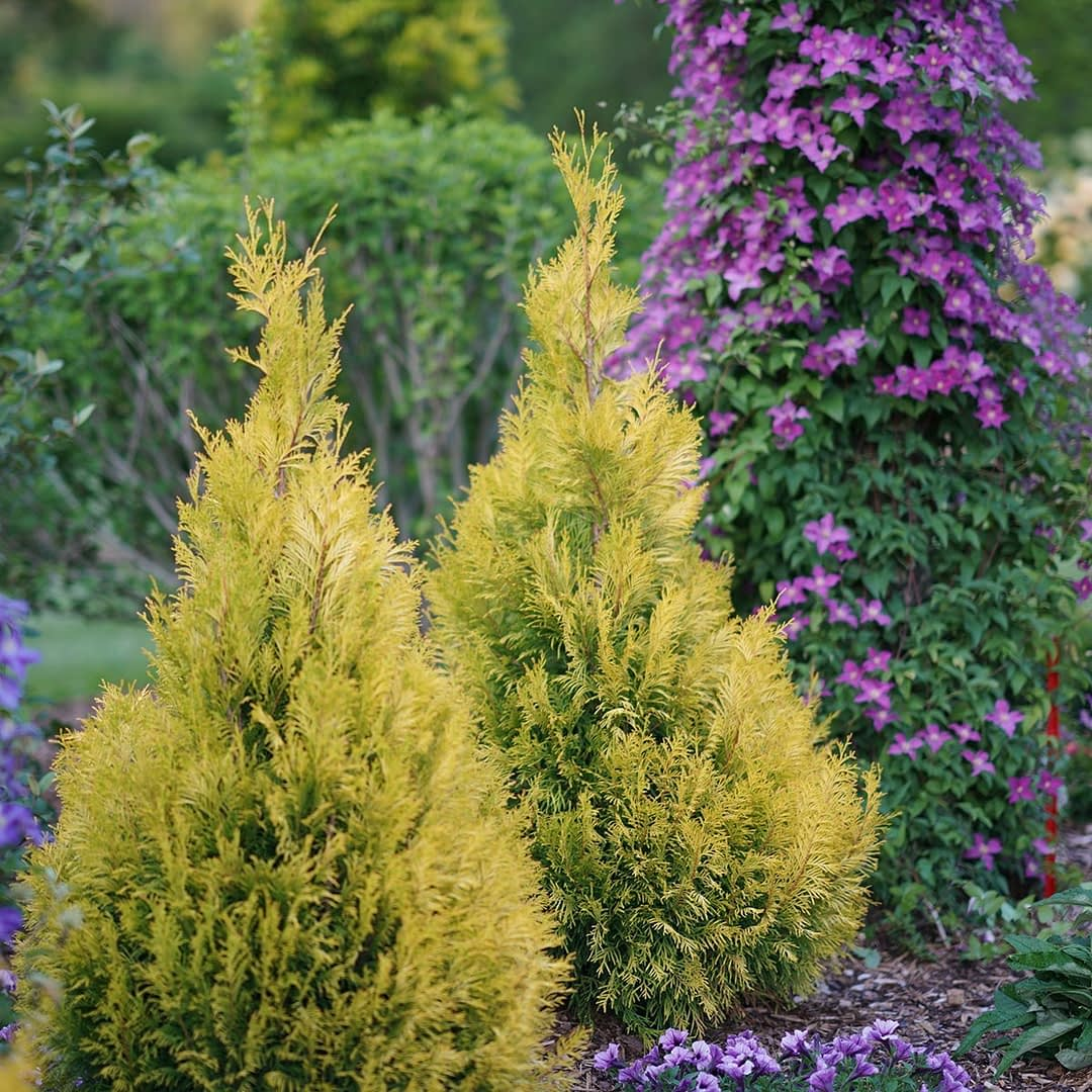 Two Fluffy arborvitaes planted next to a pillar of blooming Jolly Good clematis.