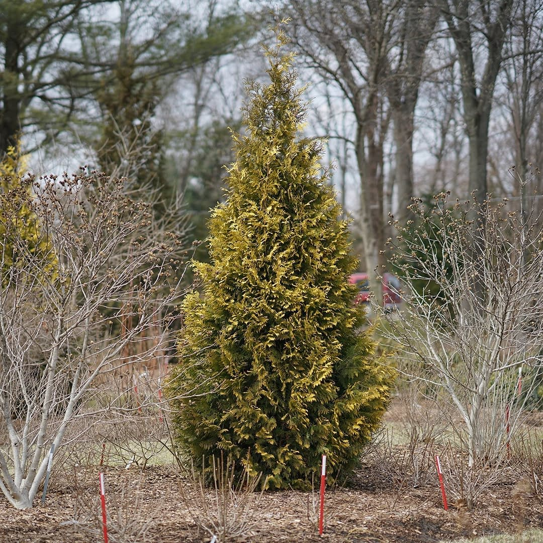 Polar Gold arborvitae keeps its cheerful golden color even in winter.