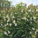 The white flower clusters of Low Scape Hedger aronia.