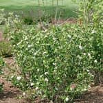 A Low Scape Hedger aronia in bloom.