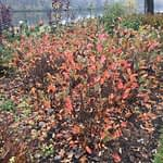 The multi toned foliage of Low Scape Hedger aronia in autumn.
