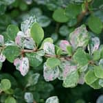 A close look at the foliage of Sunjoy Sequins barberry which appears hand painted in shades of green, pink, and white.