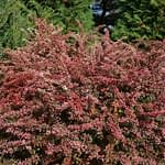 Sunjoy Sequins barberry turns pink in fall.